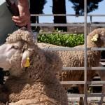 Shearing-Company-Regional-VIC